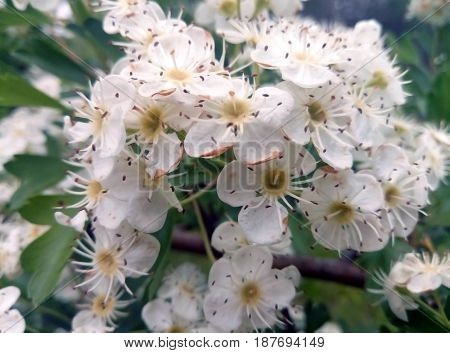 Spring time of the year. Blossom ashberry, flowers. Blurred background
