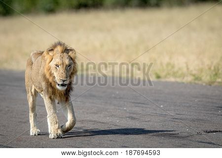 Young Male Lion Walking On The Airstrip.