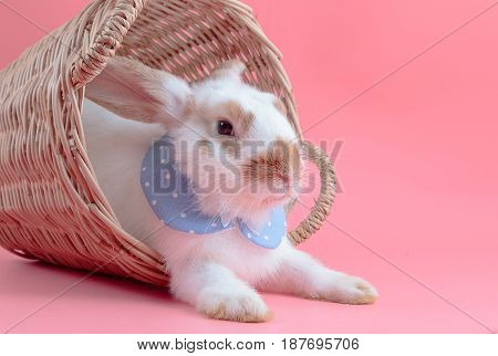 Cute Short Hair Rabbit Sitting In The Basket On Pink Background