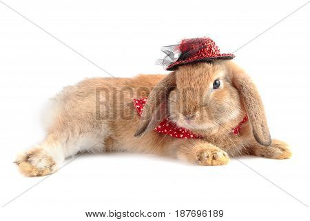 Cute French Lop Rabbit Lying On White Background