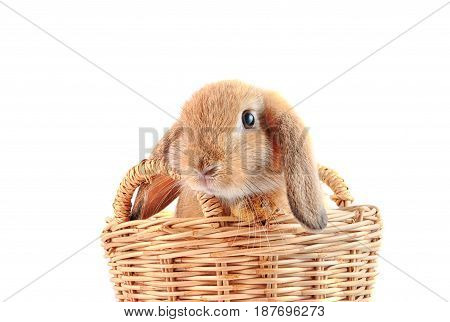 Cute French Lop Rabbit Sitting In The Basket On White Background