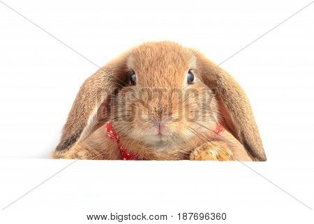 Cute French Lop Rabbit Sitting On White Background