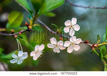 Cherry white flowers on a tree branch. Flowering season. Selective focus