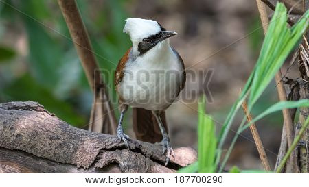 Bird (white-crested Laughingthrush) In A Wild