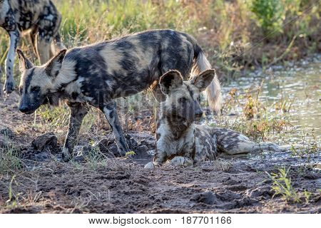 African Wild Dog Laying In The Sand And Looking.