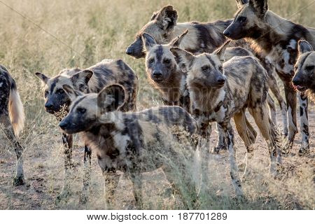 Pack Of African Wild Dogs Walking In The Sand.