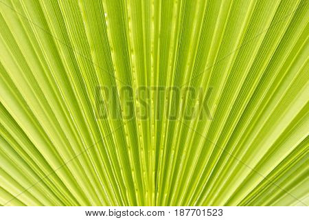 closeup view of a palm leaf with diagonal lines in bright sunlight