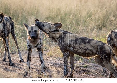 African Wild Dog Grooming A Pack Member.