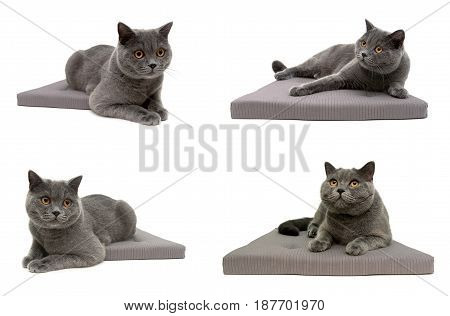Gray cat lying on pillow isolated on white background. Horizontal photo.