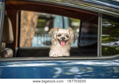 Dog so cute mixed breed with Shih-Tzu Pomeranian and Poodle sitting on car seat inside a blue car wait for travel trip