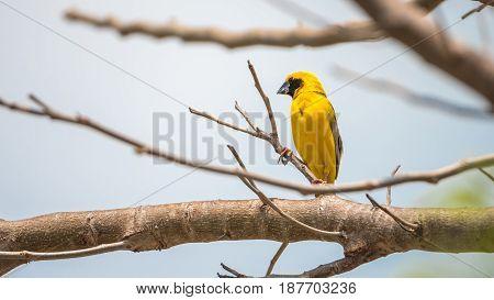Bird (asian Golden Weaver) On A Tree