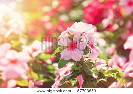 A sunny flower garden with periwinkle flowers (catharanthus roseus)