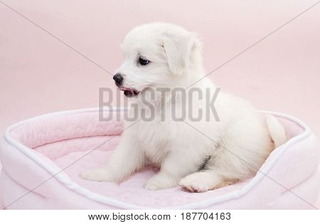 A Maltese puppy on its sleeping basket with pink background