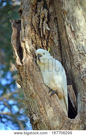 Australian Sulfur-crested Cockatoo, Cacatua galerita, perched in a hollow in a Broad Leaved Paperbark tree, Melaleuca quinquenervia, in Centennial Park, Sydney, Australia