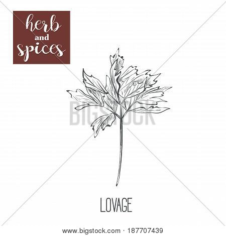 lovage hand drawing. Herbs and spices. Vector illustration of sketch lovage