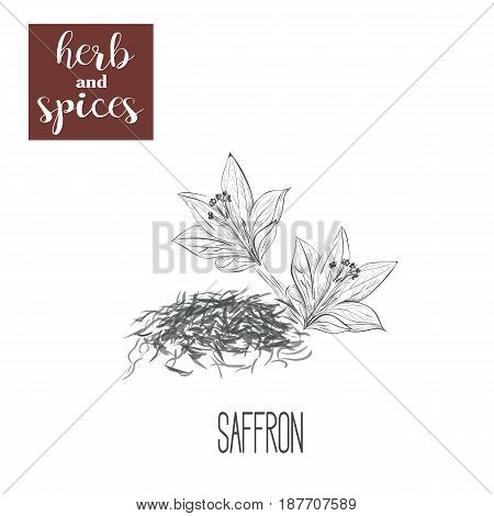 Saffron skech herbs and spices vector illustration. hand drawing saffron