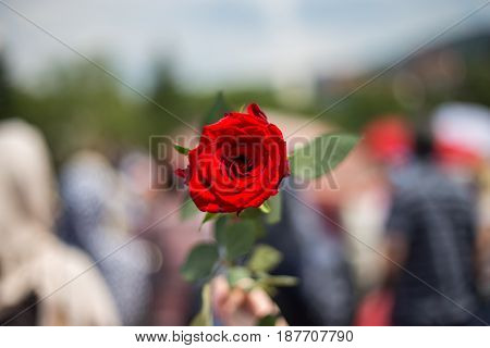 Red roses in memory of the murdered innocent civilians flowers for the dead