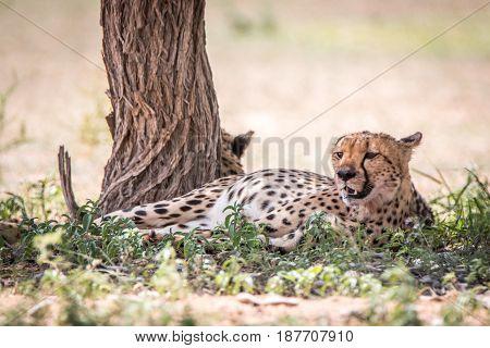 Cheetah Laying Down Next To A Tree.