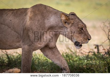 Side Profile Of A Lion In Kgalagadi.