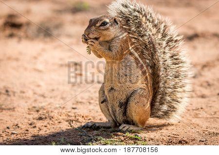 Ground Squirrel Eating Something.