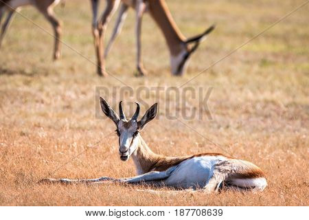 Young Springbok Laying In The Grass.