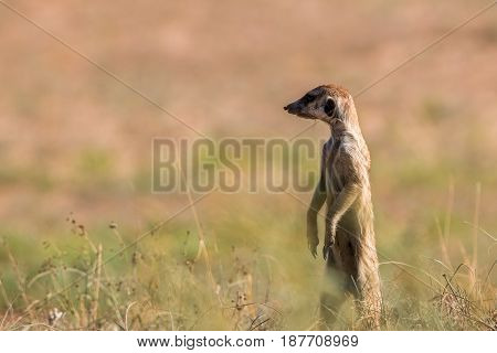 Meerkat On The Lookout In The Kgalagadi.