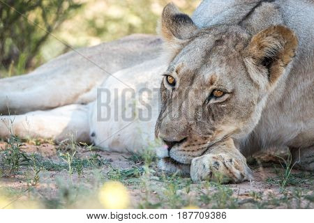 Lioness Laying Down And Resting.