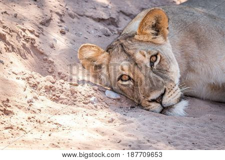 Lioness Laying In The Sand And Starring.