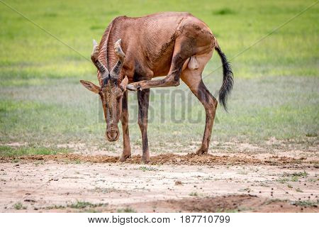 Red Hartebeest Scratching Itself.
