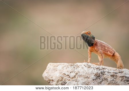 Ground Agama On A Rock In Kgalagadi.