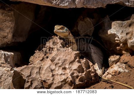 Ground Agama Hiding In A Cave In Kgalagadi.
