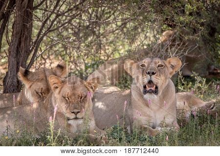 Pride Of Lions Laying In The Grass.