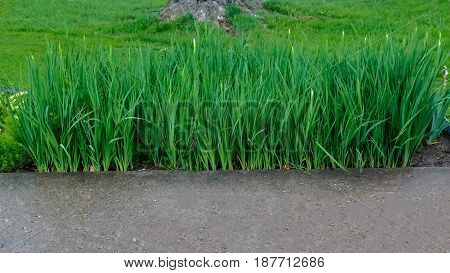 The white iris will soon be blooming. Get ready ants!