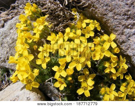 Very beautiful yellow wildflowers among the rocks