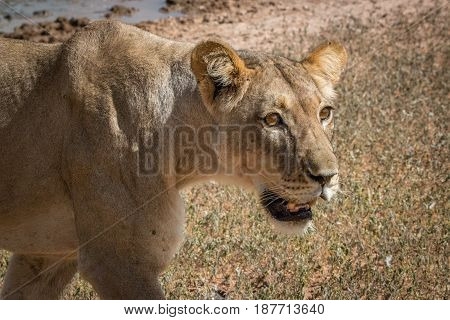 Side Profile Of A Lioness In The Kgalagadi.