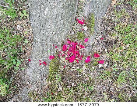 red rose petals at base of oak tree