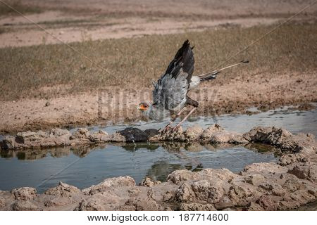 Secretary Bird Drinking At A Waterhole.