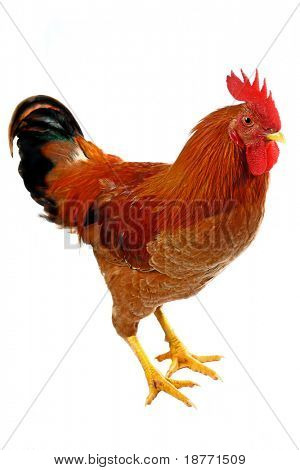 rooster, isolated on white