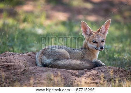 Cape Fox Laying Down In The Sand.