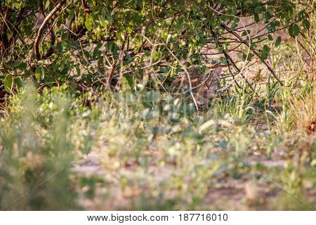 African Wild Cat Hiding In The Bushes.