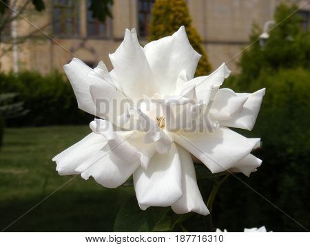 Pictures of white rose flowers, pictures of the most beautiful white roses