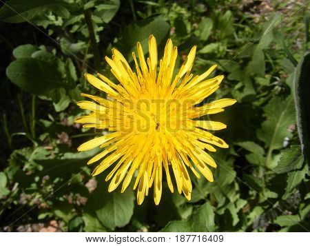 Yellow meadow flower which is a flower of wild flowers