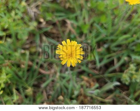 small yellow flowers and weeds in green grass