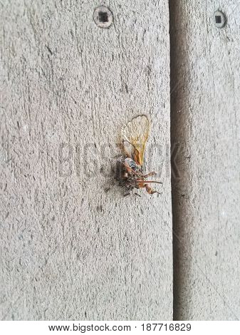 a dead cicada being eaten by several ants