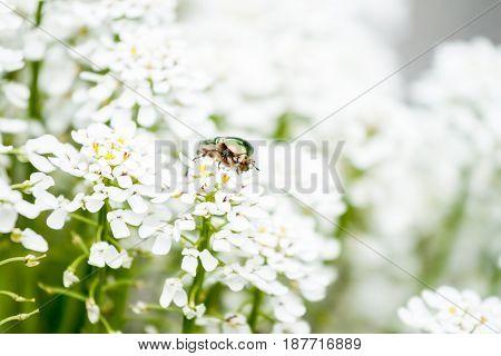 green maybug sitting on beautiful white flowers