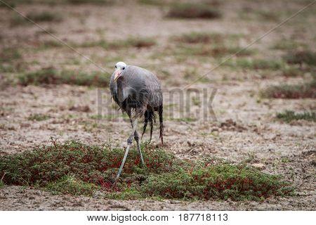 Blue Crane Walking In The Grass.