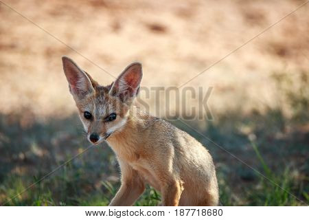 Cape Fox Starring At The Camera.