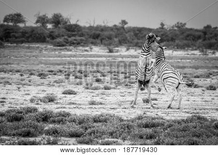 Two Zebras Fighting In Black And White.