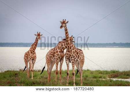 Group Of Giraffe Standing In The Grass.