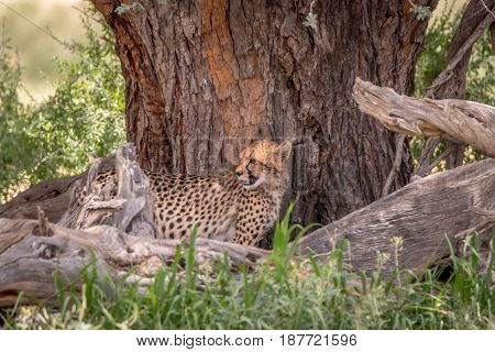 Cheetah Standing Under A Tree In Kgalagadi.